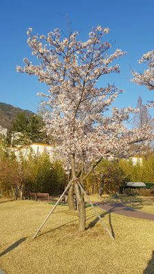 Cherry blossoms in Changwon