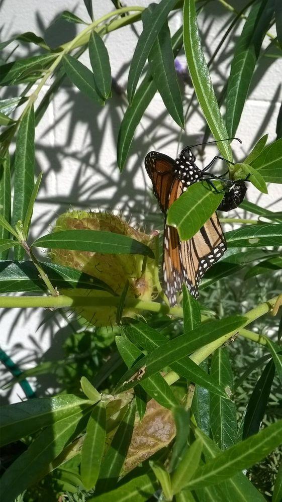 Flying free Monarch