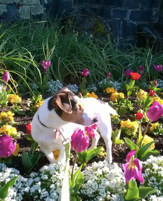 "Zara the Jack Russell Taking time out to tiptoe through the Tulips!  ""Shhh, don't tell Park staff, honest I was only smelling the flowers for my mental wellbeing!"""