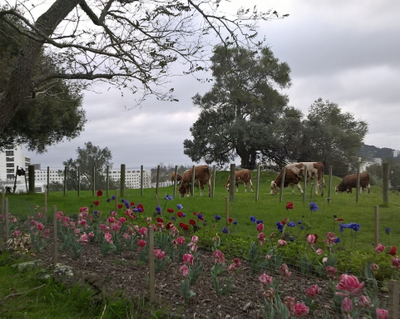 Tulip and Anemone flowers with the Simmental Cows originally from Switzerland grazing with National Women's and Greenlane Hospitals in the background at Cornwall Park, One Tree Hill, Auckland.