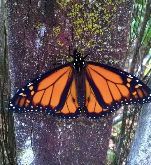 Male Monarchs have two black markings on their wings / Female butterflies which don't can lay up to 1000 eggs.