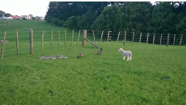 Lamb rounding up the Ducks and Ducklings to safety in the other paddock
