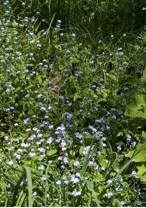 Forget-Me-Nots with Honey Bee and Cinerarias