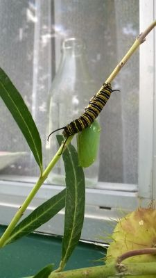 Milk Station Chrysalis and Monarch caterpillar with Milk Plant Seed Pod