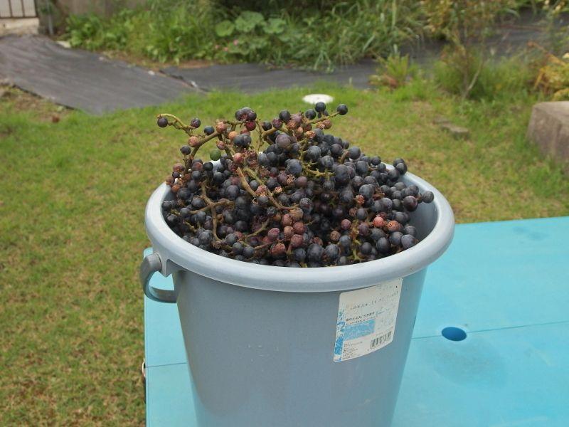 ワイン仕込みの季節到来