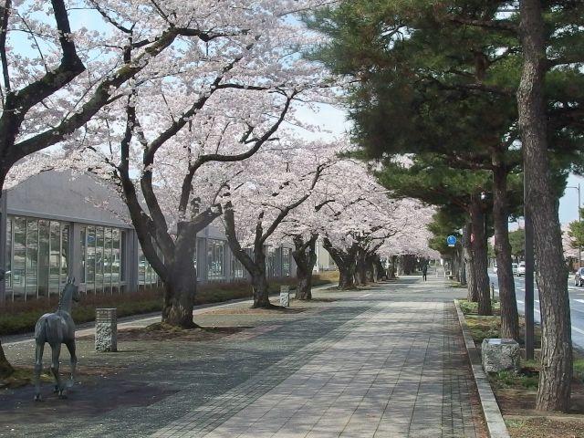 青森は今、桜が満開です