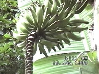 Bananenstaude im Hausgarten