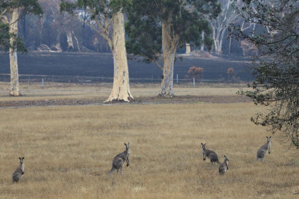 very relieved to see these guys in the nextdoor paddock after fire took out much of the surrounding habitat