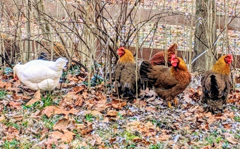 hens.jpg