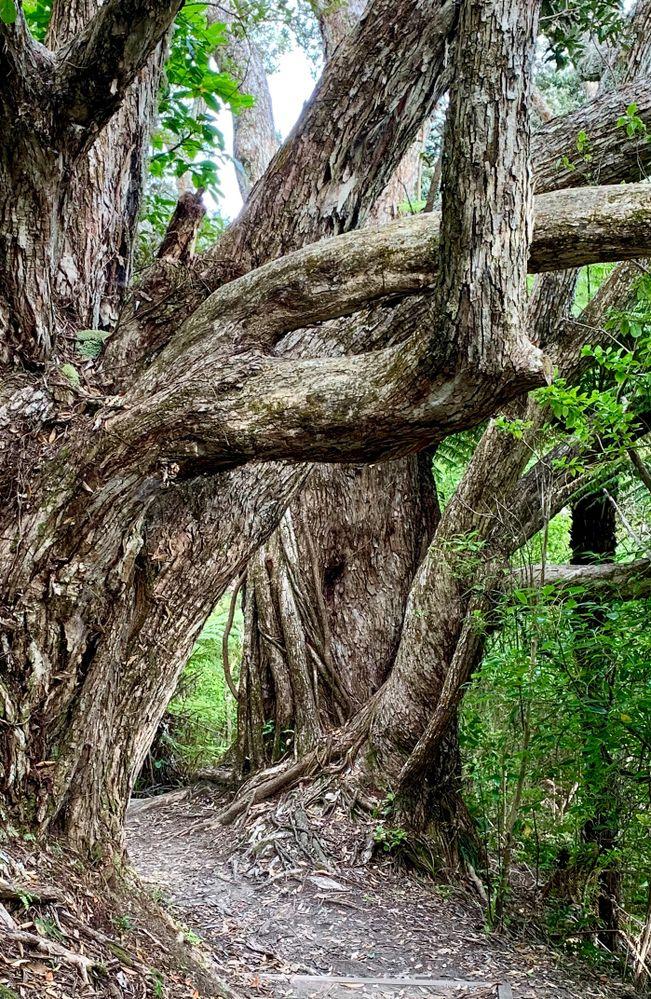 The mighty Pohutukawa Trees