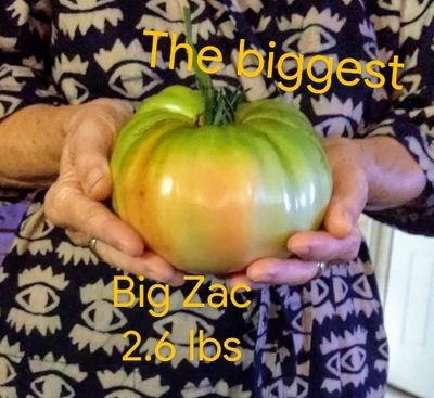 1.179 kg.........David grew 7 types of tomatoes and this was the biggest. We had to pick it before the birds saw it and began to feast.
