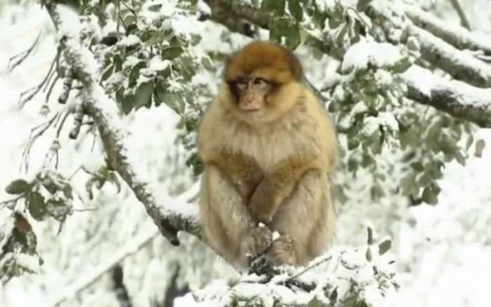 un singe dans la neige au Maroc.jpg