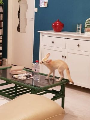 Iya's  likely jump on furniture and could potentially knock over decorations and other items as it plays