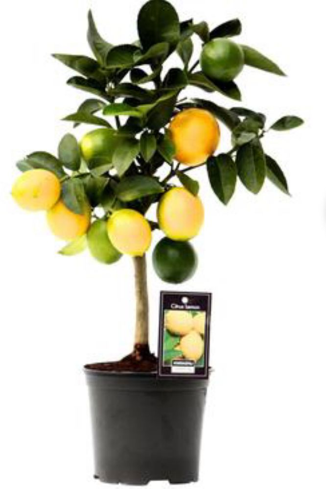 Usually I can find lime tree plant  at the florists, Paris. We use to decorating the kitchen or living room in the apartment.