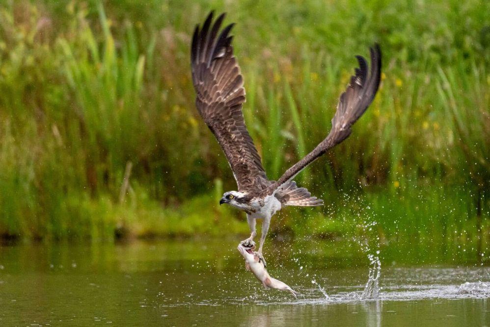 osprey may2020.jpg