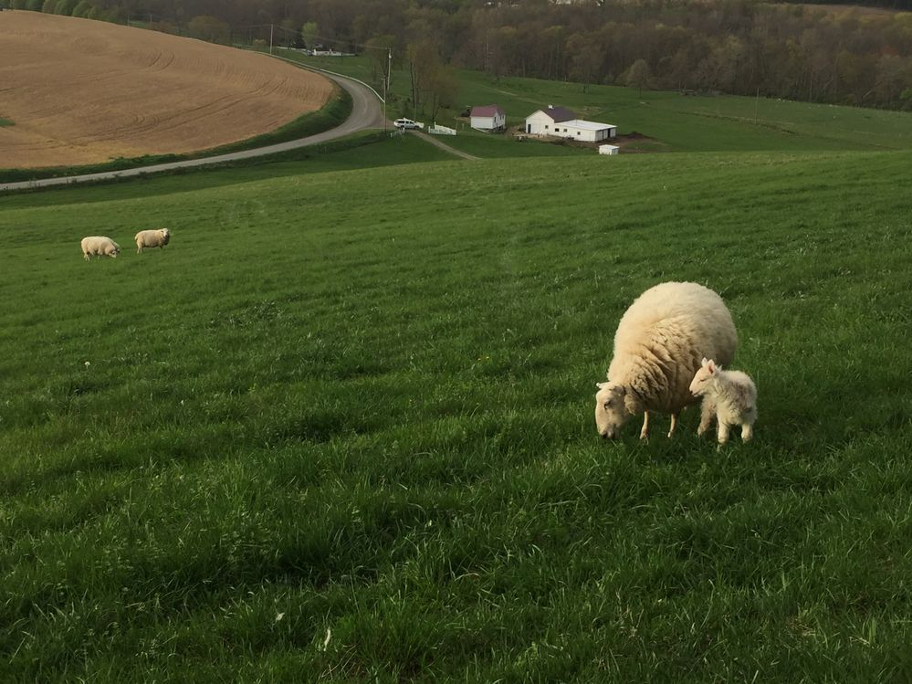 Beautiful ewes and lambs provide wool and breakfast sausage.