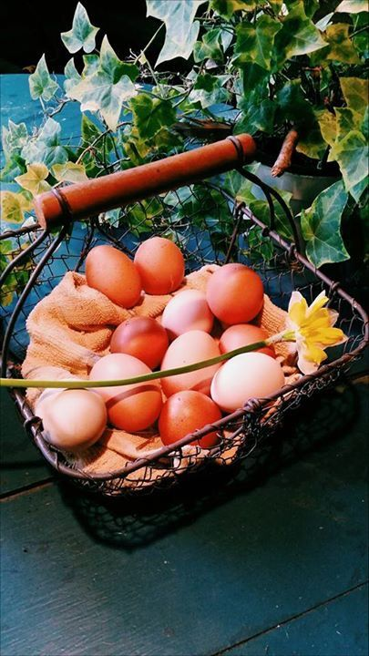 Chickens provide eggs for our breakfasts. So fresh and free range.