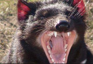TasmanianC.jpg